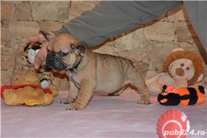 catelusi Bulldog Francez cu Pedigree ! - imagine 4