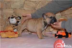 catelusi Bulldog Francez cu Pedigree ! - imagine 5