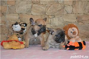 catelusi Bulldog Francez cu Pedigree ! - imagine 6