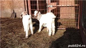 capre de rasă  - imagine 12