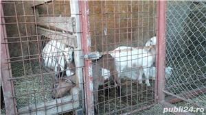 capre de rasă  - imagine 11