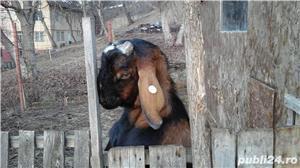 capre de rasă  - imagine 13