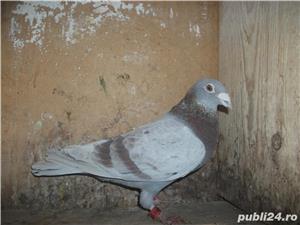 Vand porumbei voiajori de la matca - imagine 1