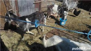 Vand capre si iezi, lichidare ferma - imagine 4