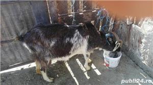 Vand capre si iezi, lichidare ferma - imagine 1