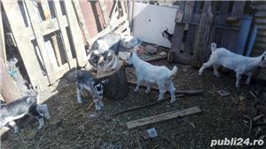 Vand capre si iezi, lichidare ferma - imagine 2