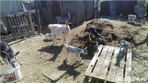 Vand capre si iezi, lichidare ferma - imagine 3