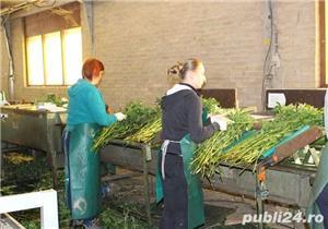 Muncitori la sere si depozite de flori - OLANDA - imagine 2