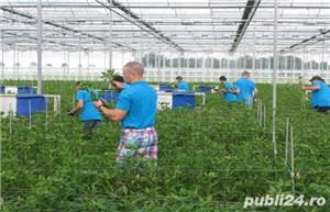 Muncitori la sere si depozite de flori - OLANDA - imagine 5