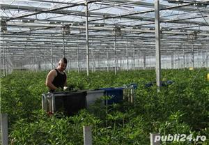 Muncitori la sere si depozite de flori - OLANDA - imagine 1