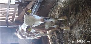 Vand vaca cu sau fara vitel - imagine 2