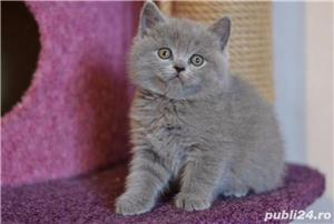 Super ofertă! British shorthair blue rasă pură poze reale - imagine 1