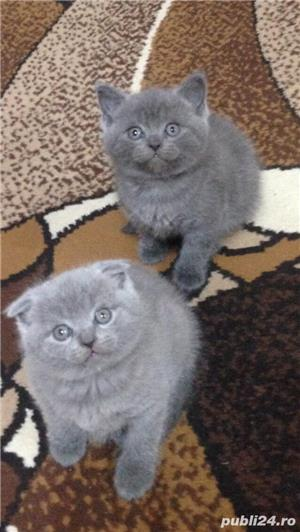 Super ofertă! British shorthair blue rasă pură poze reale - imagine 2