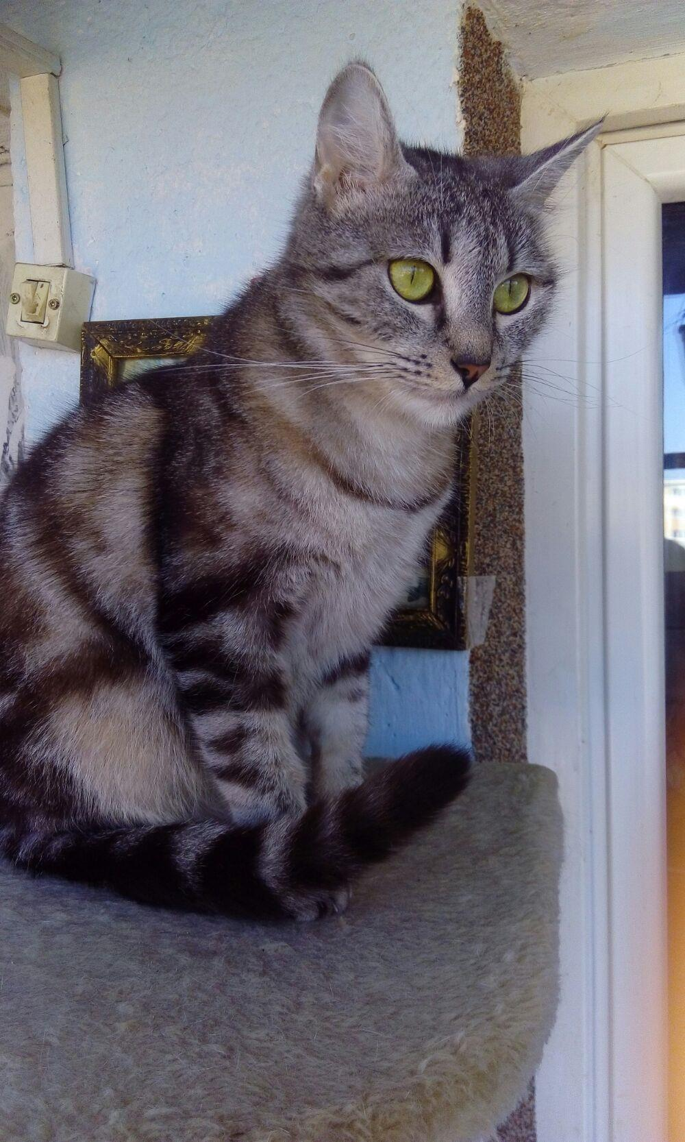 Puii pisicute British silver tabby rasa pura -detin ambii parinti - imagine 3