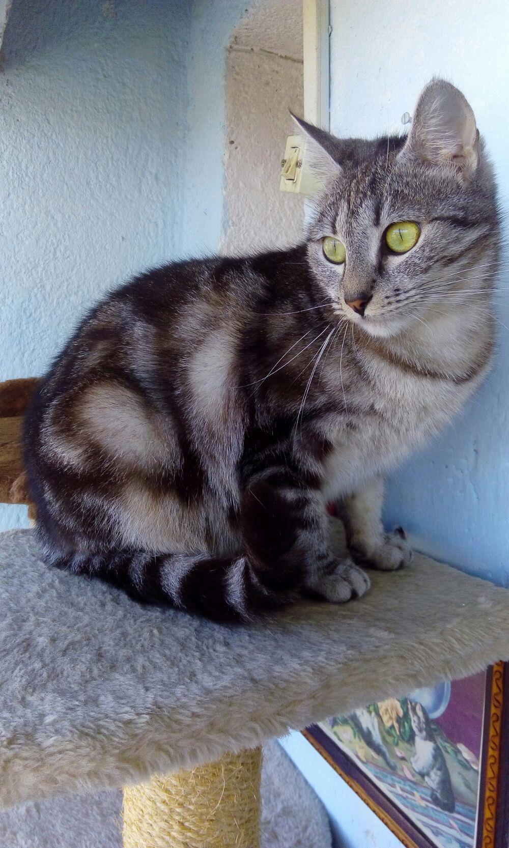Puii pisicute British silver tabby rasa pura -detin ambii parinti - imagine 2