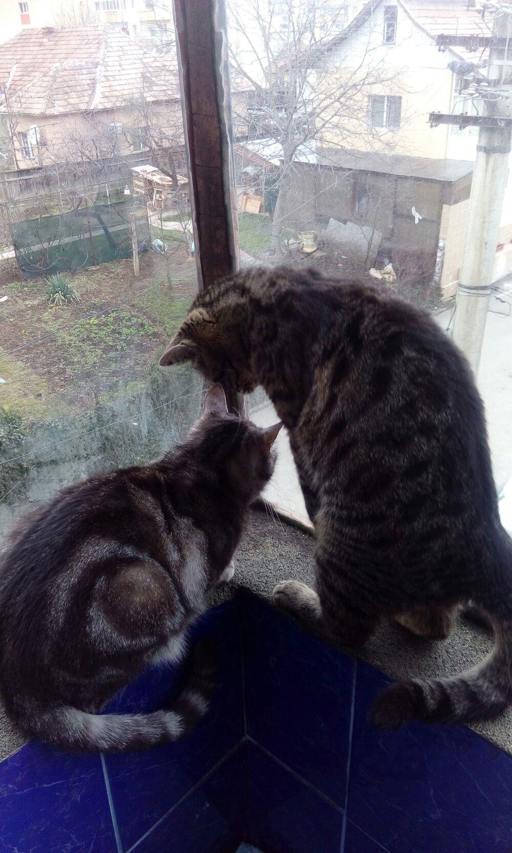 Puii pisicute British silver tabby rasa pura -detin ambii parinti - imagine 5