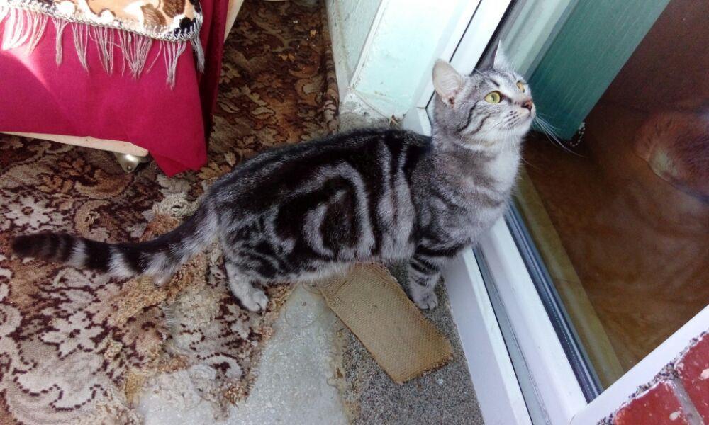 Puii pisicute British silver tabby rasa pura -detin ambii parinti - imagine 6