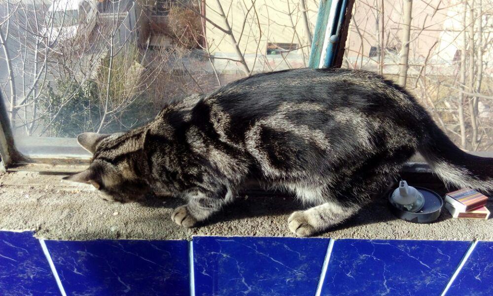 Puii pisicute British silver tabby rasa pura -detin ambii parinti - imagine 7