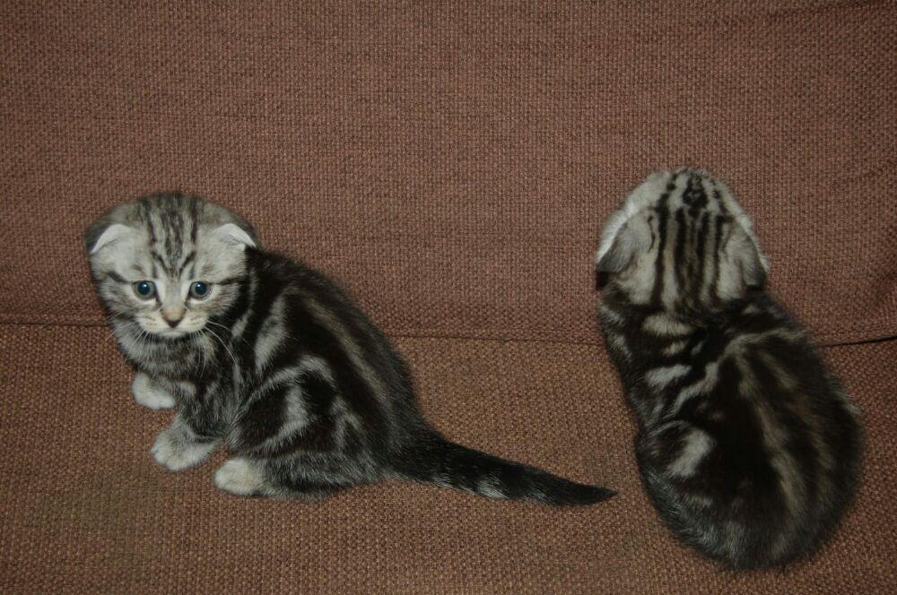 Puii pisicute British silver tabby rasa pura -detin ambii parinti - imagine 8