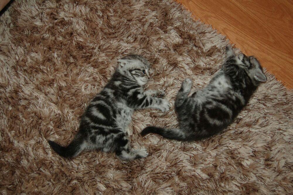 Puii pisicute British silver tabby rasa pura -detin ambii parinti - imagine 9