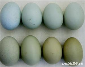 oua de gaini motate de rasa pentru incubat. - imagine 1