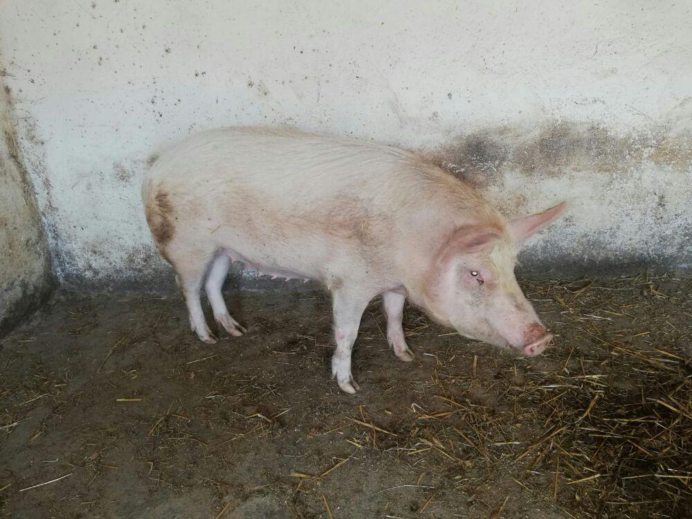 Porc de vânzare  - imagine 3