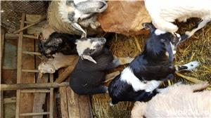 Vand iezi, capre si oi - imagine 3