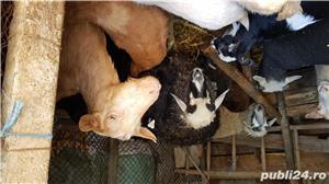 Vand iezi, capre si oi - imagine 6
