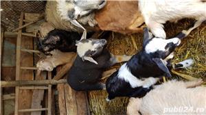 Vand iezi, capre si oi - imagine 4