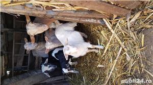 Vand iezi, capre si oi - imagine 7