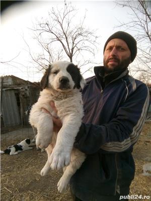 Căței Ciobanesc romanesc de Bucovina - imagine 4
