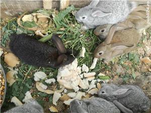 Vand iepuri metis urias german  - imagine 4