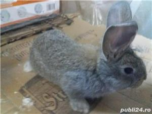 Vanzare pui iepuri de rasa - imagine 3