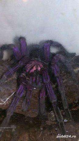 Vand tarantula rara  Pamphobeteus sp machala ,Purple bloom  - imagine 3