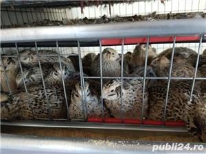 Oua de prepelita pentru consum sau incubat. - imagine 4