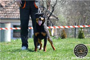 Femela Rottweiler 7 luni - imagine 1