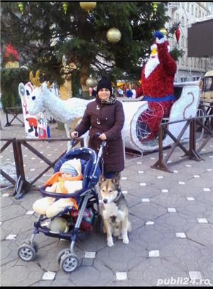 Pierdut/furat caine metis malamut/husky/ciobanesc german - imagine 7