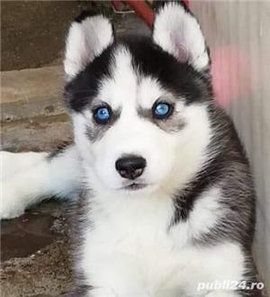 Husky Siberian, pedigree A - imagine 1