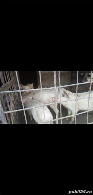 vand urgent  porci si suldani - imagine 2