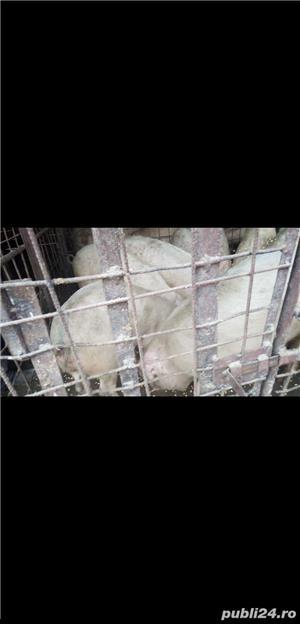 vand urgent  porci si suldani - imagine 3