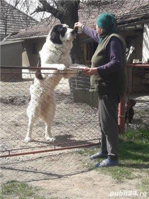 Ciobanesc de Bucovina - imagine 3