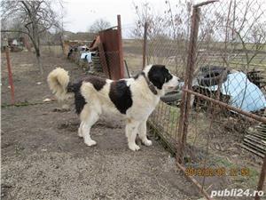 Ciobanesc de Bucovina - imagine 6