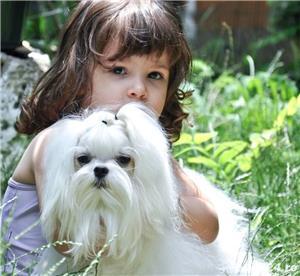 Pui bichon maltese, pedigree A, parinti campioni  - imagine 7