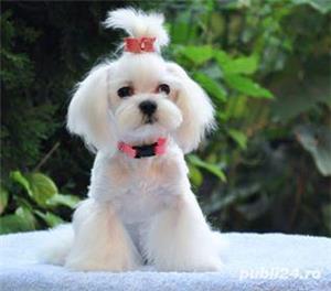 Pui bichon maltese, pedigree A, parinti campioni  - imagine 10