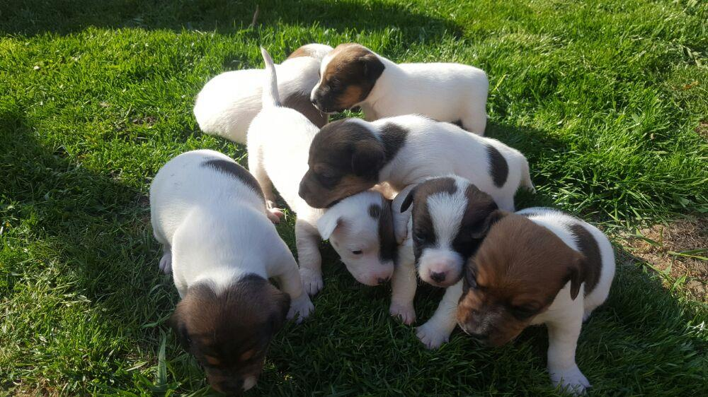 Pui Jack Russel Terrier - imagine 1