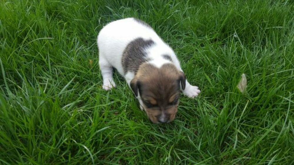 Pui Jack Russel Terrier - imagine 6