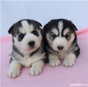 Husky Siberian, pedigree A - imagine 5