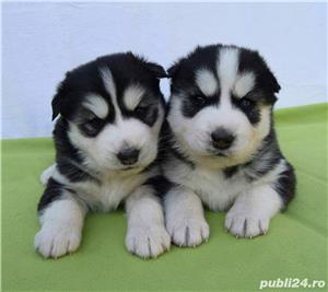 Husky Siberian, pedigree A - imagine 6