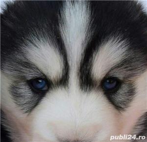 Husky Siberian, pedigree A - imagine 7