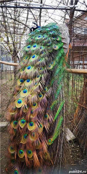 Vând păuni masculi comuni - imagine 4